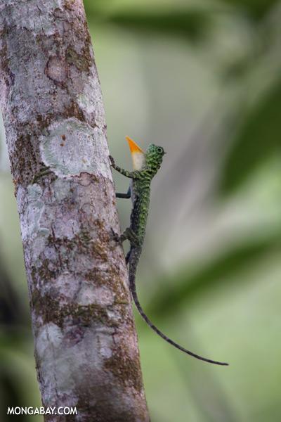 Flying dragon extending its dewlap [sabah_kinabatangan_0346]