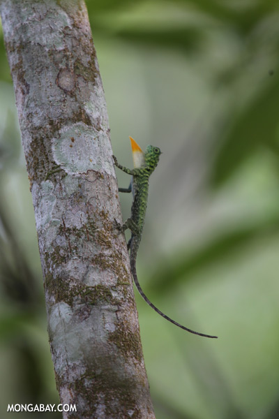 Flying dragon extending its dewlap [sabah_kinabatangan_0347]