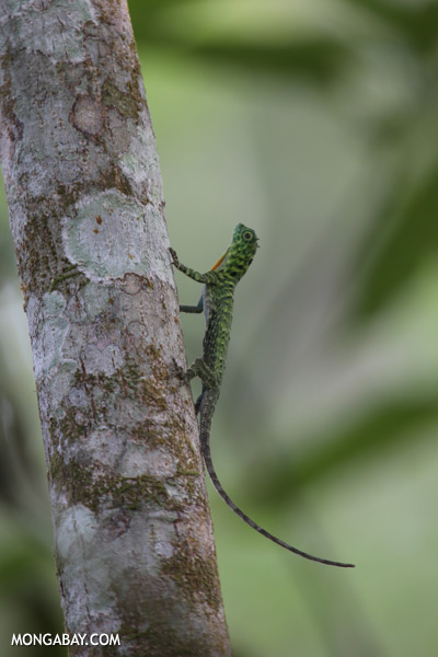 Flying dragon lizard [sabah_kinabatangan_0348]