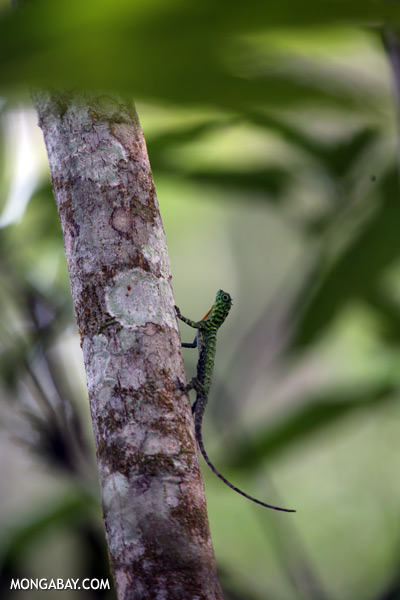 Flying dragon lizard [sabah_kinabatangan_0350]