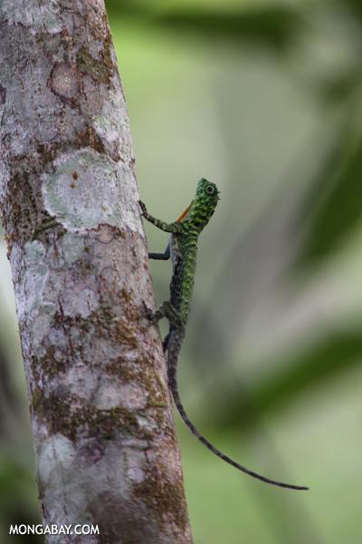 Flying dragon lizard [sabah_kinabatangan_0351]