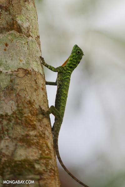 Flying dragon lizard [sabah_kinabatangan_0354]