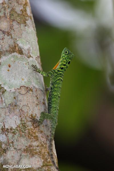 Flying dragon lizard [sabah_kinabatangan_0366]