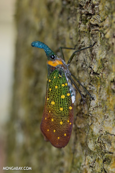 Latern bug (Fulgora lampestris) [sabah_kinabatangan_0377]