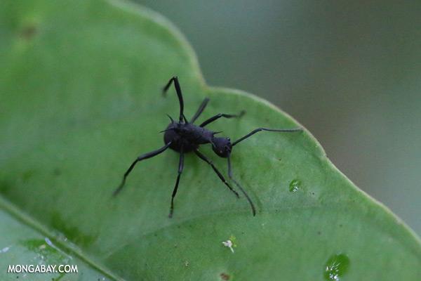 Ant [sabah_kinabatangan_0429]