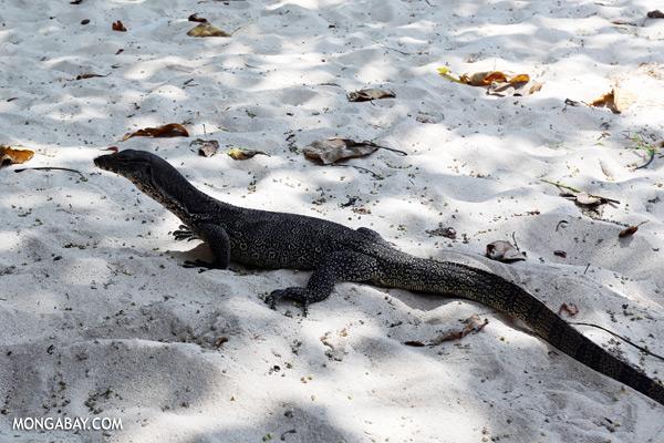 Monitor lizard [sabah_mabul_semporna_0078]