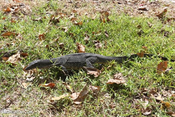 Monitor lizard [sabah_mabul_semporna_0083]