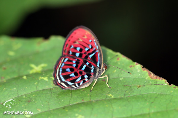 Malay harlequin butterfly