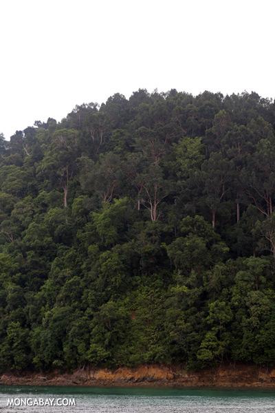 Rainforest on Pulau Gaya [sabah_sapi_island_0006]