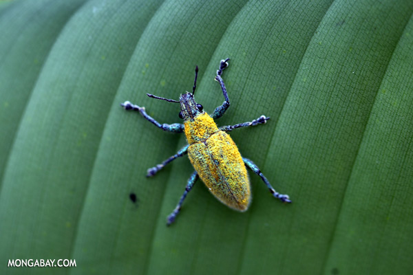 Blue and yellow weevil [sabah_sepilok_0014]