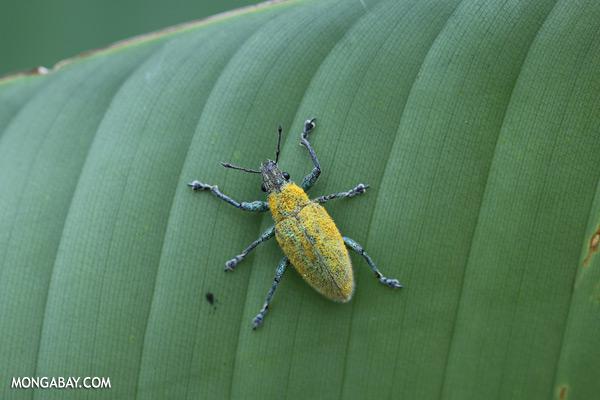 Blue and yellow weevil [sabah_sepilok_0018]