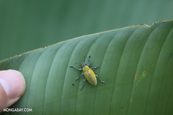 Blue and yellow weevil [sabah_sepilok_0019]