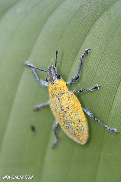 Blue and yellow weevil [sabah_sepilok_0021]