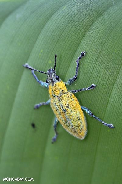 Blue and yellow weevil [sabah_sepilok_0025]