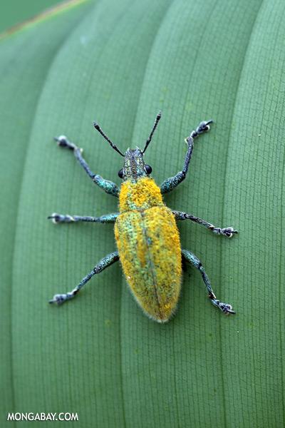 Blue and yellow weevil [sabah_sepilok_0035]