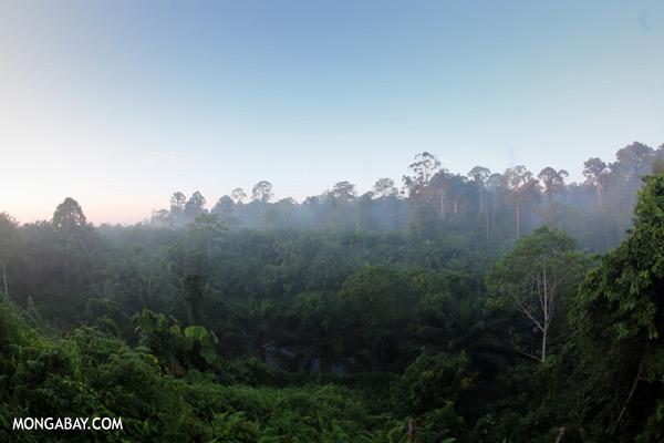 Rainforest and an oil palm plantation in Sabah [sabah_sepilok_0053]