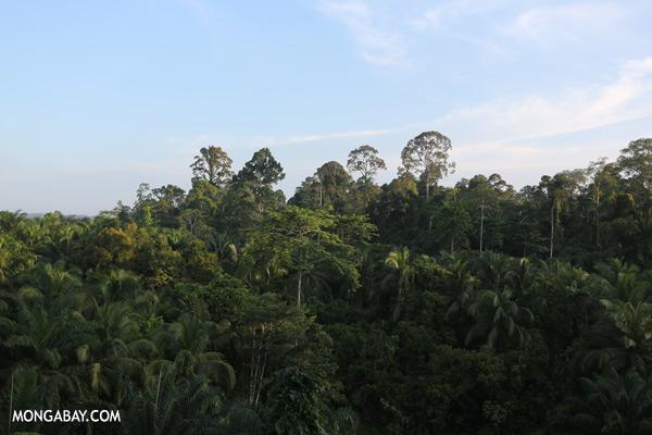 Rainforest and oil palm [sabah_sepilok_0078]