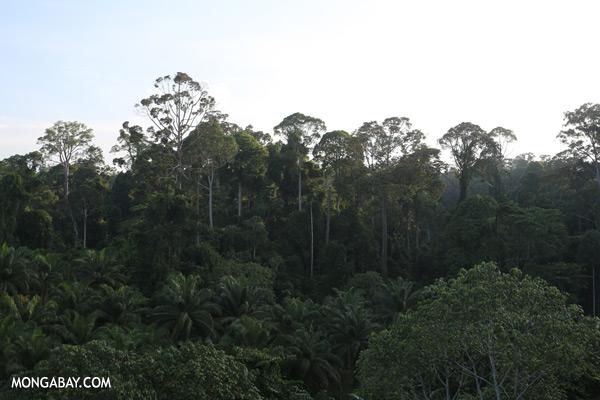 Rainforest and oil palm [sabah_sepilok_0079]