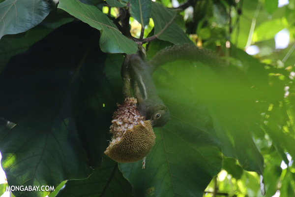Squirrel eating a jackfruit