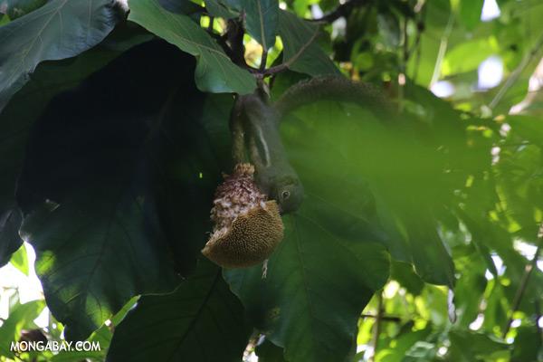 Squirrel eating a jackfruit [sabah_sepilok_0092]