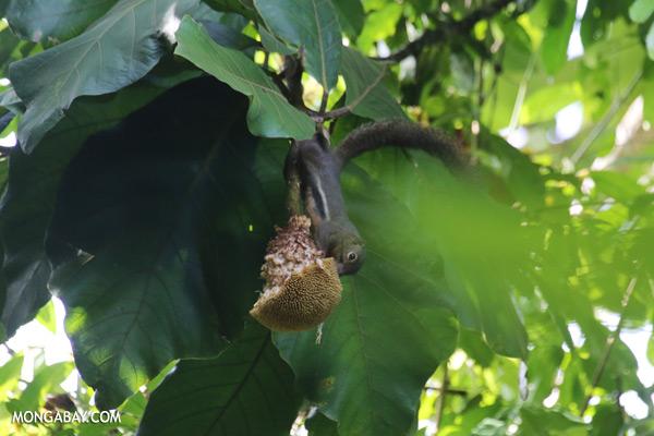 Squirrel eating a jackfruit [sabah_sepilok_0093]