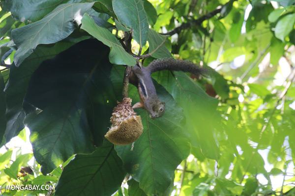 Squirrel eating a jackfruit [sabah_sepilok_0097]