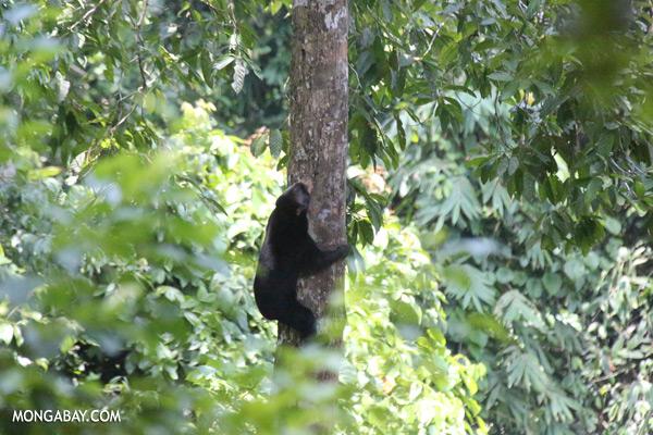Sun bear climbing a tree [sabah_sepilok_0115]