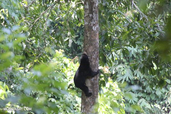 Sun bear climbing a tree [sabah_sepilok_0117]