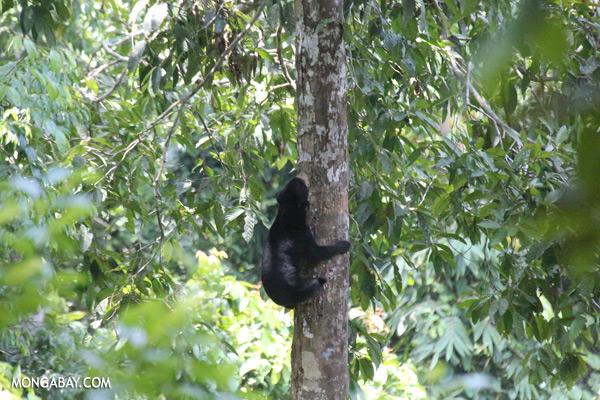 Sun bear climbing a tree [sabah_sepilok_0120]