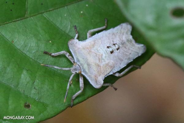 White shield bug [sabah_sepilok_0171]