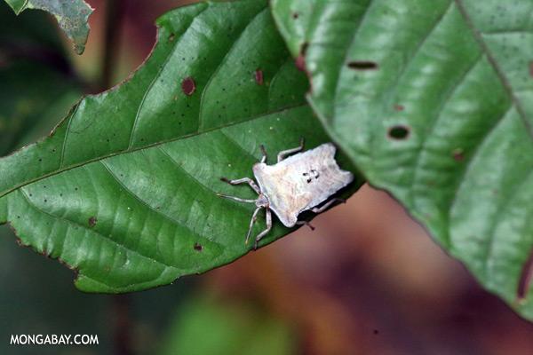 White shield bug [sabah_sepilok_0175]