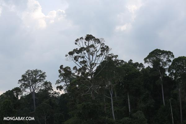 Bornean rainforest [sabah_sepilok_0190]
