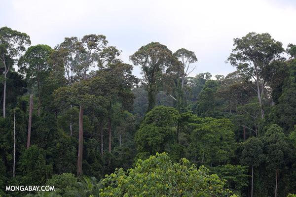 Bornean rainforest