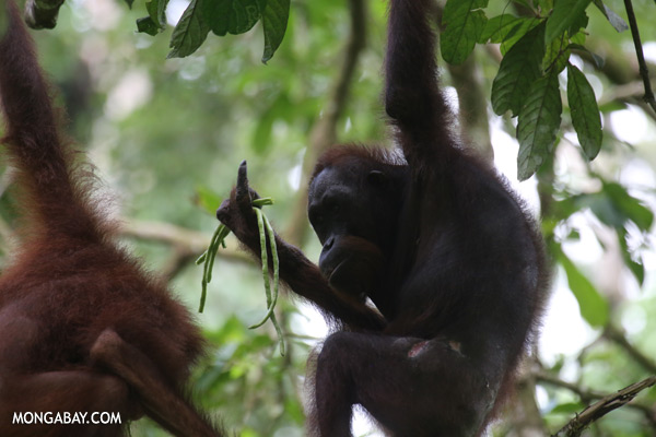 Orangutan feeding on string beans [sabah_sepilok_0195]