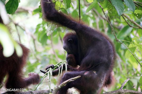 Orangutan feeding on string beans [sabah_sepilok_0204]