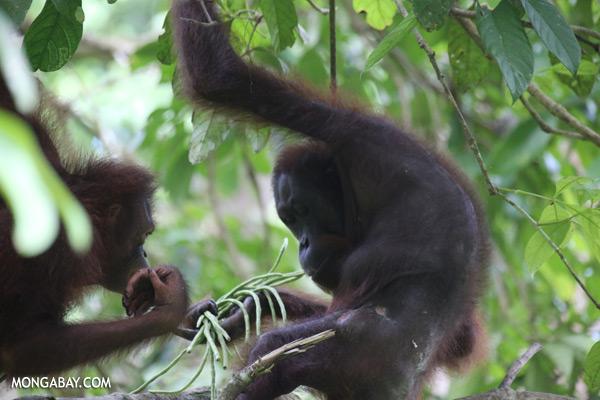 Orangutan eating string beans [sabah_sepilok_0213]