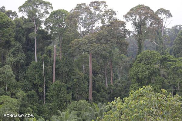 Oil palm and rainforest [sabah_sepilok_0216]