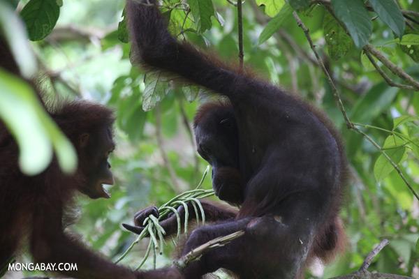 Orangutan eating string beans [sabah_sepilok_0217]