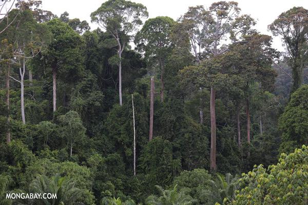 Oil palm and rainforest [sabah_sepilok_0220]