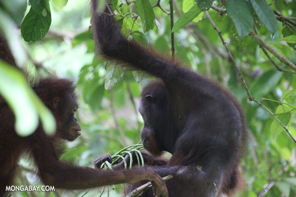 Orangutan eating string beans [sabah_sepilok_0221]