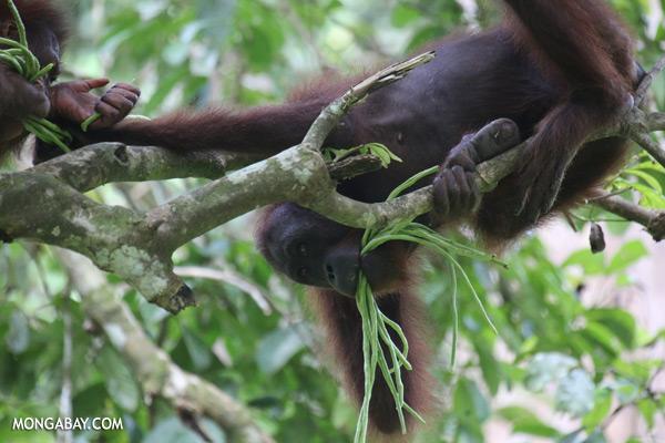 Orangutan eating string beans [sabah_sepilok_0224]