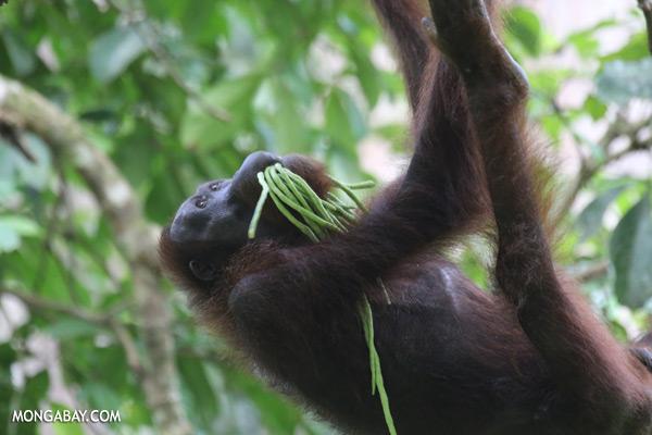 Orangutan eating string beans [sabah_sepilok_0235]