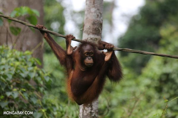 Juvenile orangutan at the Sepilok rehabilitation center [sabah_sepilok_0239]