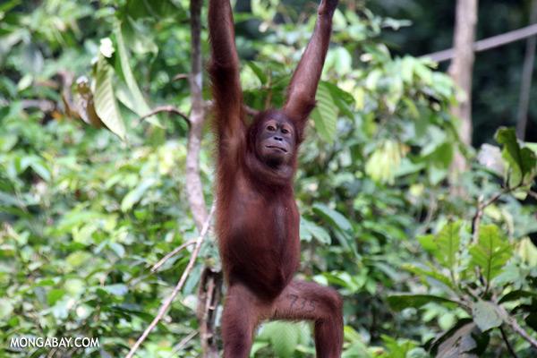 Juvenile orangutan at the Sepilok rehabilitation center [sabah_sepilok_0244]