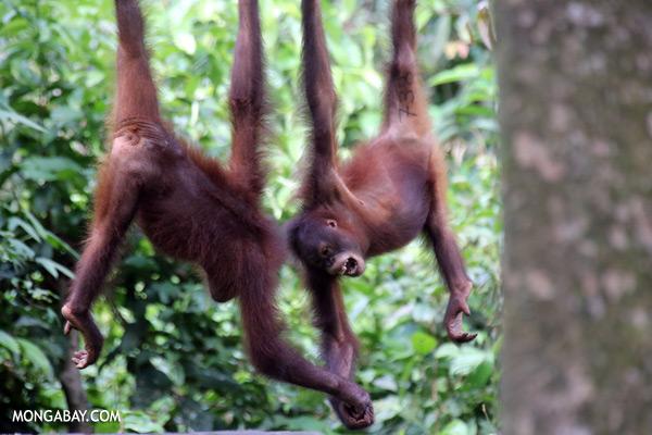 Juvenile orangutans at the Sepilok rehabilitation center