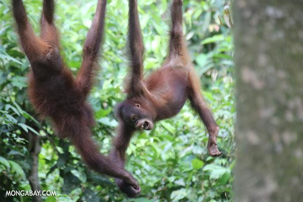 Juvenile orangutans at the Sepilok rehabilitation center [sabah_sepilok_0248]