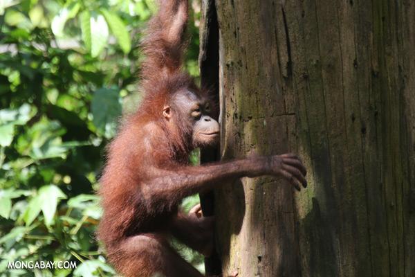Juvenile orangutan at the Sepilok rehabilitation center [sabah_sepilok_0265]