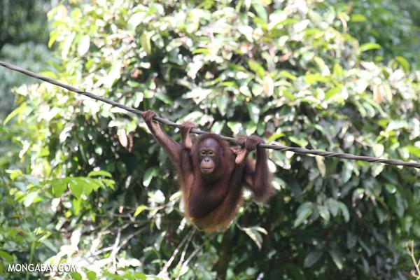 Juvenile orangutan at the Sepilok rehabilitation center [sabah_sepilok_0272]