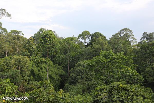 Sepilok rainforest canopy