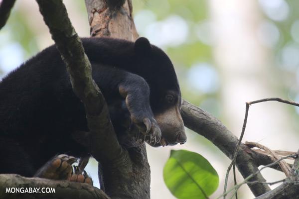 Sun bear in Malaysian Borneo
